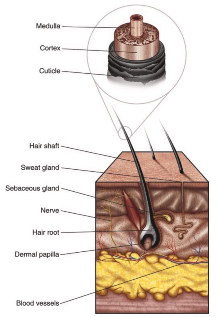 microanatomy of Hair